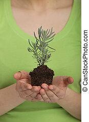 美麗的婦女, 藏品, a, 年輕 植物, 在, 手