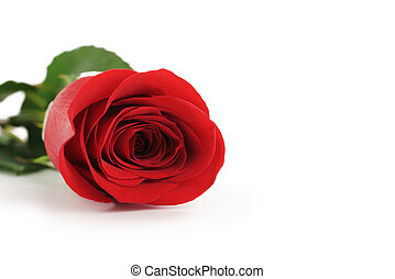 美麗, 唯一 紅色 上升了, 在懷特上, 背景, 由于, 模仿空間