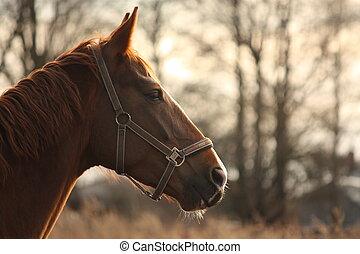 美麗, 栗子, 馬, 傍晚, 肖像