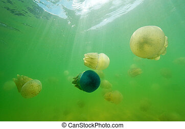 美麗, 海, 水母, 在, the, 海, ......的, 泰國, (underwater, view)