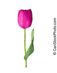 美麗, 粉紅色, 郁金香, 被隔离, 在懷特上, 背景。