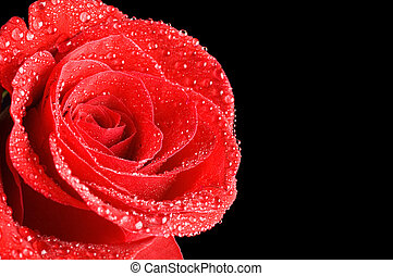 美麗, 紅色的玫瑰, 上, a, 黑色的背景