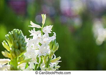 美麗, 芬香, 春天, 開花, 風信子, 綠色的背景, 白色, 顏色