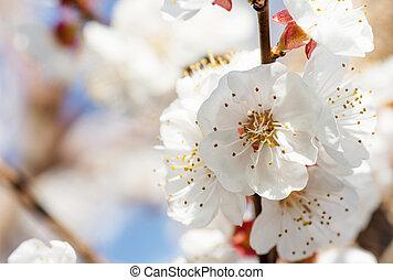 美麗, 藝術, 春天, 抽象的場景, 被模糊不清, 邊框, 粉紅色, 太陽, day., 背景。, flowers., 復活節, 自然, 陽光普照, flare., 背景, 果園, springtime., blossom., 樹, 開花, 或者