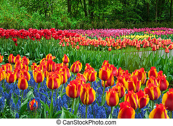 美麗, 郁金香, 在, 春天, 花園