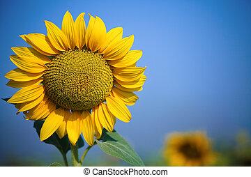 美麗, 黃色, 向日葵