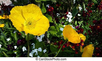 美麗, 黃色, 罌粟