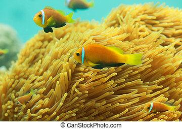 美麗, clownfishes
