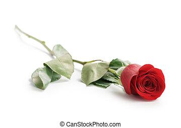 美麗, Ros, 單個, 背景, 白色, 紅色