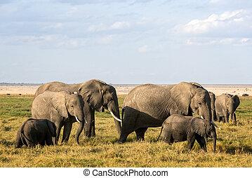 群れ, の, アフリカの象