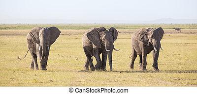 群れ, の, 野生, 象, 中に, amboseli 国立公園, kenya.