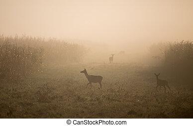 群れ, 女性, deers, 森林, 朝, 赤, 霧が濃い