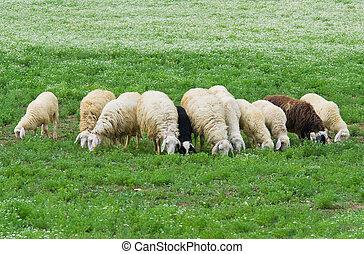群れ, sheep.