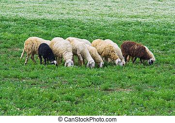 群れ,  sheep
