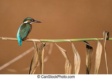 翠鳥, 鳥, 在一個分支上, 由于, 棕色的背景