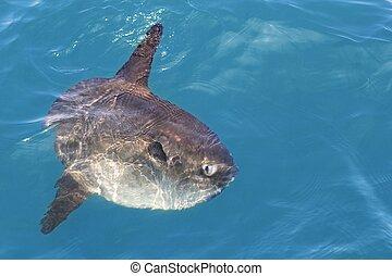 翻車魚, 在, 真正, 海, 自然, mola, mola, luna, 太陽, fish