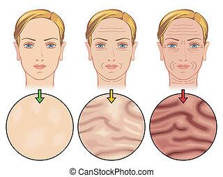 老化, 皮膚