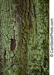 老, 橡木, 樹