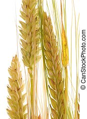 耳朵, 大麥