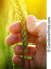 耳朵, 小麥, 藏品, 庄稼, 農夫