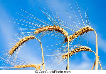 耳朵, ......的, 成熟, 小麥, 上, a, 背景, 藍色的天空