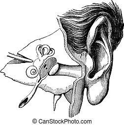 耳, 彫版, 部分, 人間, 型
