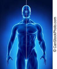肌肉, 概念, 在, x光