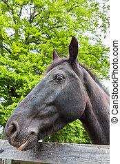 肖像画, の, a, 黒, ジプシー, 馬