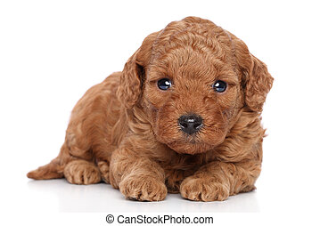 肖像画, 子犬, プードル