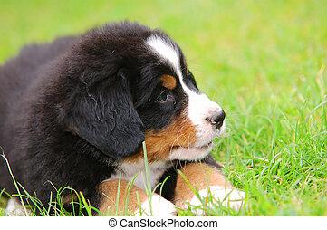 肖像画, bernese, 犬, 山