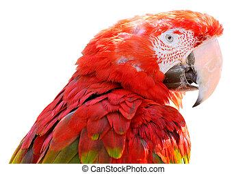 肖像画, macaw, 隔離された, 深紅