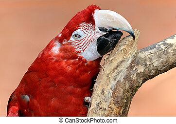 肖像画, macaw, chloroptera