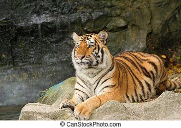 肖像画, tiger, siberian
