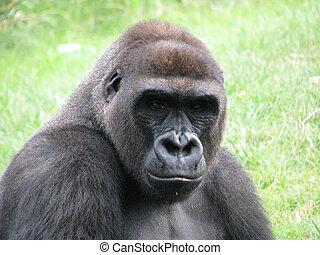 肖像, 大猩猩, 相片