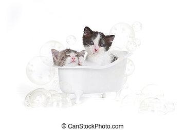 肖像, 拿, 洗澡, 工作室, 小貓