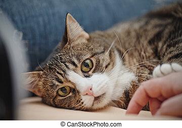 肖像, ......的, a, 有條紋, 貓