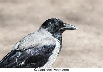 肖像, ......的, a, 灰色, 烏鴉