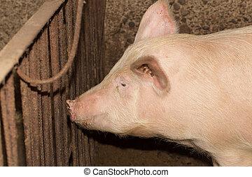 肖像, ......的, a, 豬農場