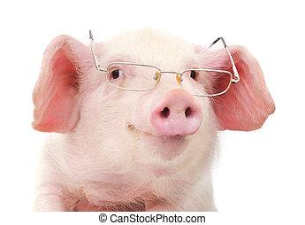 肖像, ......的, a, 豬, 在, 眼鏡