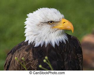 肖像, 禿的鷹