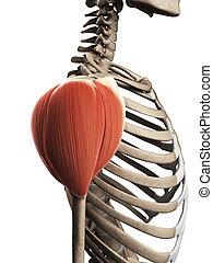 肩, 筋肉
