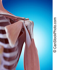 肩, 解剖学