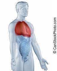 肺, ポジション, 解剖学, 人, 隔離された, 横の視野