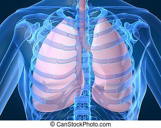 肺, 人類