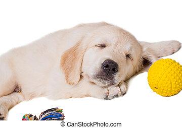 背景, レトリーバー, 金, 白, 子犬, 隔離された
