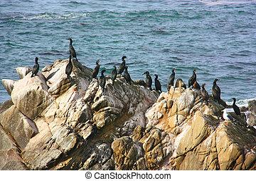 背景, 上に, カリフォルニア, 海, ?ormorants, 一団