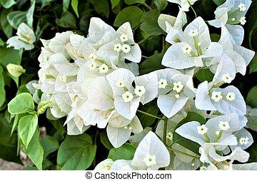 背景, 白い花