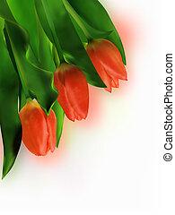 背景。, 白色, 三, 紅色的郁金香