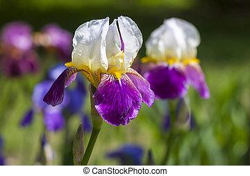 背景, 美しい, 白い花, 青, ぼんやりさせられた