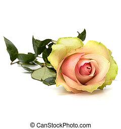 背景, 隔離された, 美しい, バラ, 白